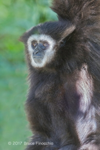 A White-handed Gibbon Hangs From One Arm As He Looks Out At The World