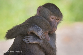 A Young Hamadryas Baboon Comforts A Younger Hamadryas Baboon
