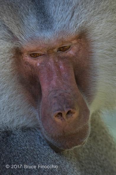 An Introspective Male Hamadryas Baboon Portrait