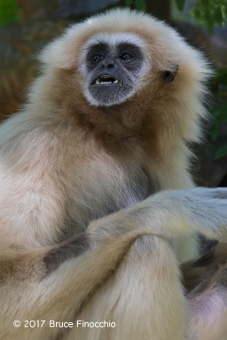 Female White-handed Gibbon Reacts
