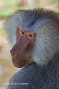 Male Hamadryas Baboon Looks Over His Shoulder