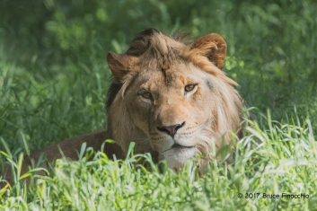Male Lion Lying Down In The Green Grass