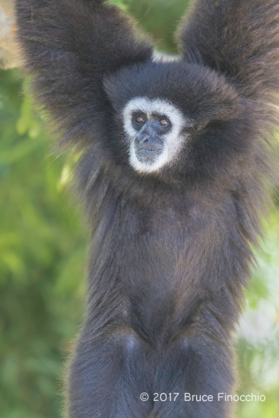 Male White-handed Gibbon Hangs From A Tree Branch