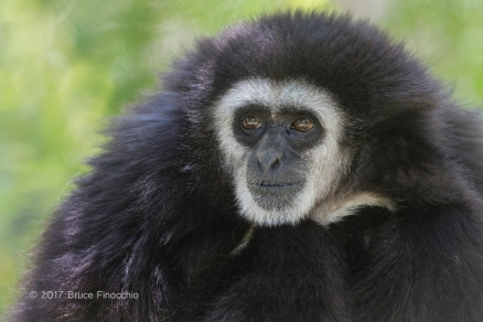 Male Whited--handed Gibbon Portrait