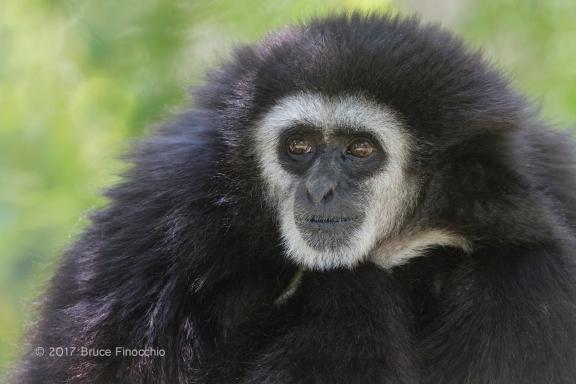 Male Whited--handed Gibbon Portrait