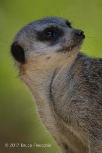 Short-tailed Meerkat Looks Skyward