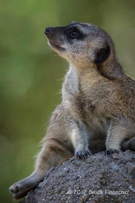 Short-tailed Meerkat Looks Skyward For Potential Danger