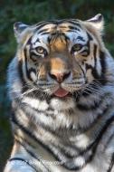 Tiger Head On Portrait