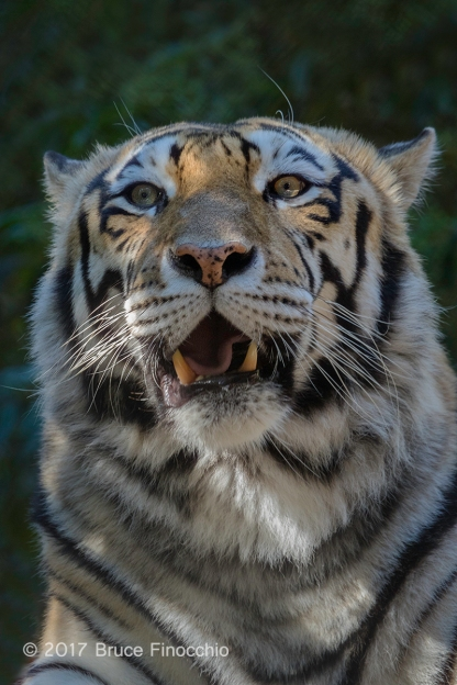 Tiger Projects An Aura Of Power