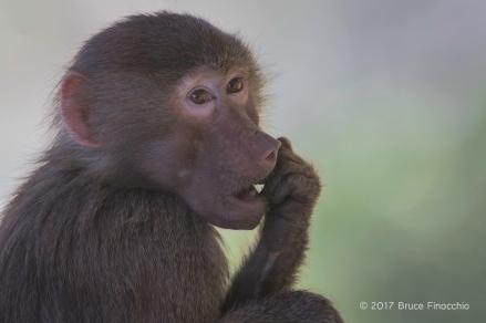 Young Hamadryas Baboon Pondering Life