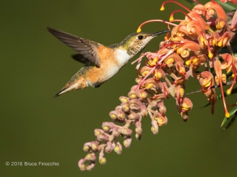 A Grevillea Blossom Anther Touch A Female Allen's Hummingbirds Head As She Feeds On The Flowers Nectar