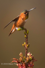 A Male Allen's Hummiingbird Prepares To Take Flight With Wings Back