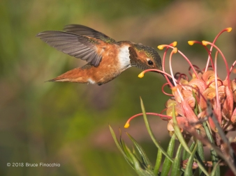 A Feeding Male Anna's Humminbird Sips Nectar From A Grevillea Blossom