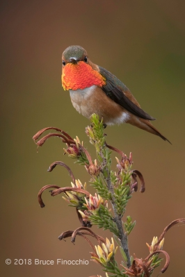 A Male Allen's Hummingbird's Gorget Flashs Red and Gold