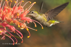 Female Anna's Hummingbird Pollenates Grevillea Blossoms In Its Search For Nectar
