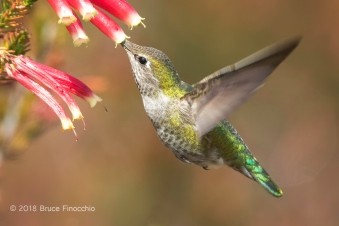 Female Anna's Hummingbird Sipping Nectar From A Cape Heath Blossom