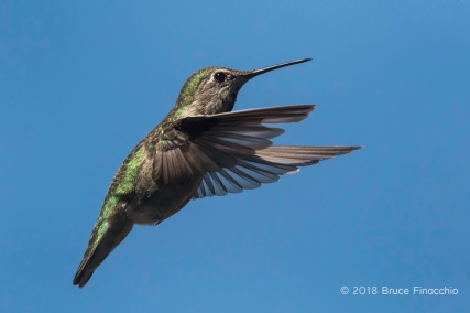 Female Anna's Hummingbird Uses Powerful Wings To Hover In Mid Air