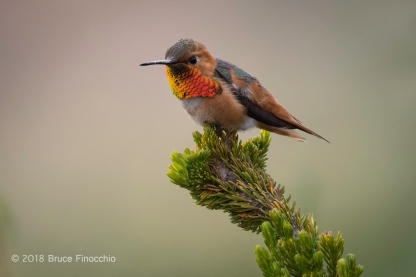 Male Allen's Hummingbird Showing Colorful Gorget While Perched On A Thick-ended Cape Heath Branch