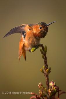 Male Allen's Hummingbird Stretches While Perches On Cape Heath