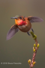 Male Allen's Hummingbird Takes Flight From The Tip Of A Cape Heath Branch