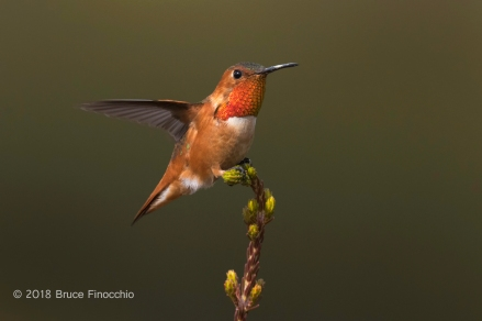 Male Allen's Hummingbird With Wing Back As It Completes Landing