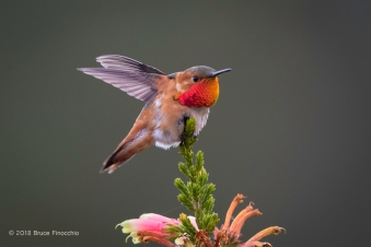 Male Allen's Hummingbird With Wings Back While Perched