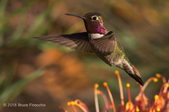 Male Anna's Hummingbird Hovers Over Grevillea Blossoms