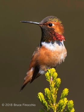 Side Profie And Portrait Of A Male Allen's Hummingbird On Cape Heath Branch