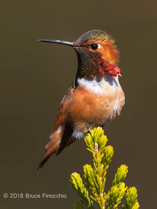 Side Profie And Portrait Of A Male Allen's Hummingbird On Cape Heath Branch
