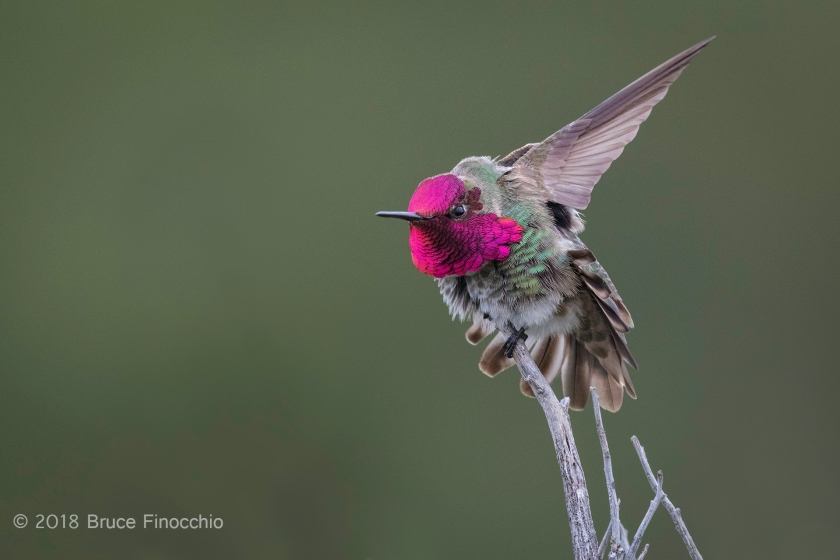 Male Anna's Hummingbird Shows Off Brilliant Gorget While Stretching