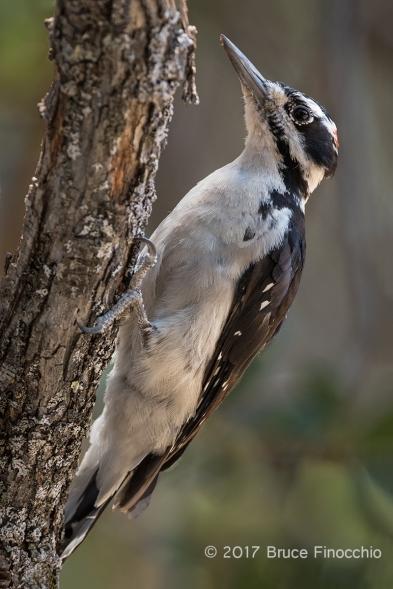 A Male Hairy Woodpecker Clings To A Oak Branch