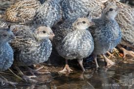 California Quail Chicks Around A Pond's Edge
