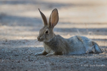 Cottontail Rabbit Laying Down In The Cooler Shaded Sand