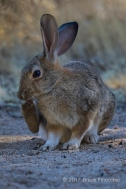 Desert Cottontail Rabbit Scratches Chin With Hind Leg