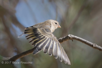 Female Lawrence Goldfinch Stretches Wing Feathers