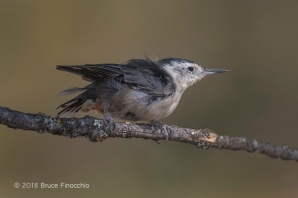 Female White-breasted Nuthatch Disheveled Feathers