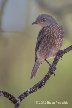 Juvenile Western Bluebird Perched Underneath The Canopy Of A Blue Oak