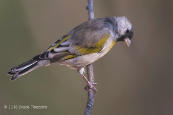 Male Lawrence's Goldfinch Peers Downward