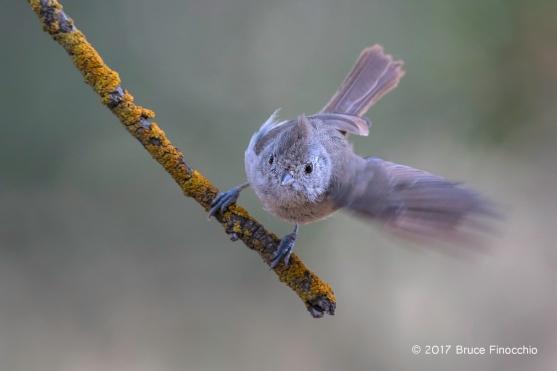Oak Titmouse Prepares To Take Flight From An Orange Lichen Branch