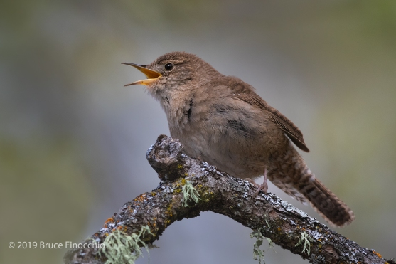 A Singing House Wren From A Weathered Branch