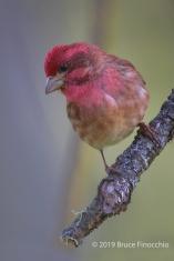 Male Purple Finch Looking Down From A Broken Branch