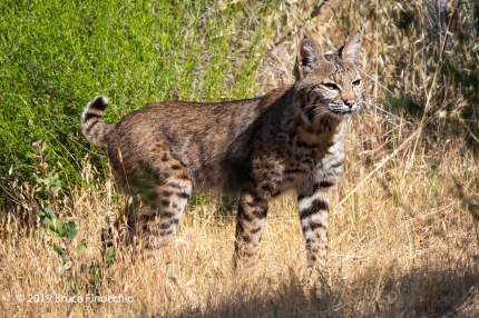 Bobbed Tail Up As Alert Bobcat Searches For Prey