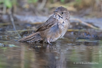 House Wren Raises Up And Looks Around After Taking A Bath